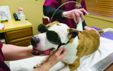 Laser Therapy for Pets. CONTROL THE PAIN!    By Shaylene Snyder, DVM